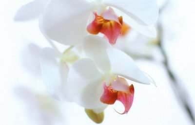 Orchid Image